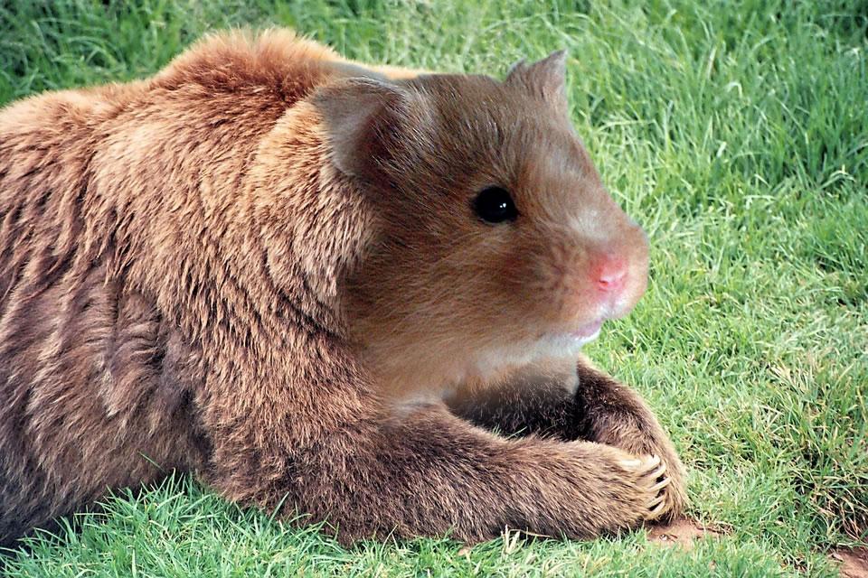 """Bear/Hamster"" - CameronJ"