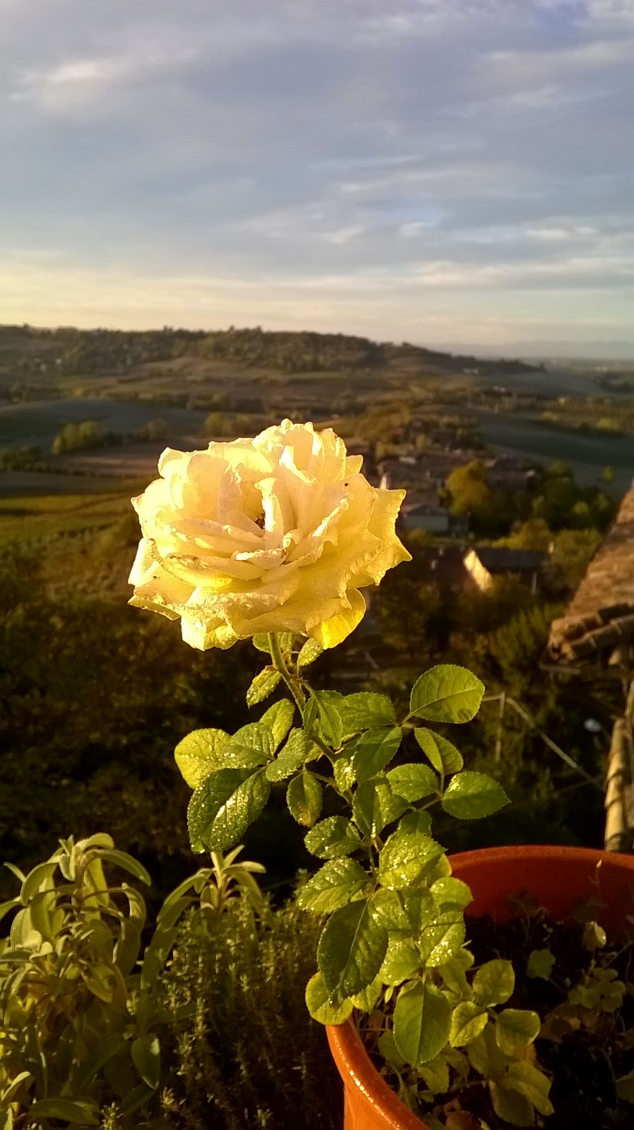 Quanto Dura Una Rosa Fiorita? La Mia Curata Con #AcquaBase 07/10/2017