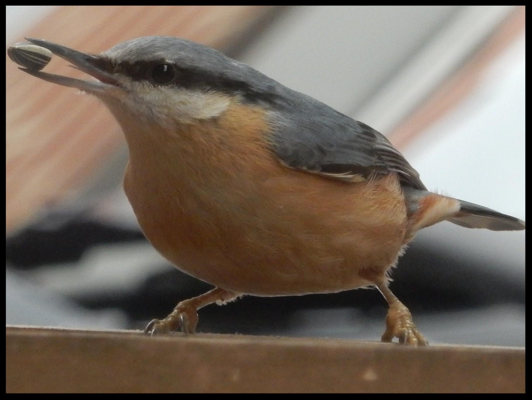 Kleiber am Vogelhäuschen