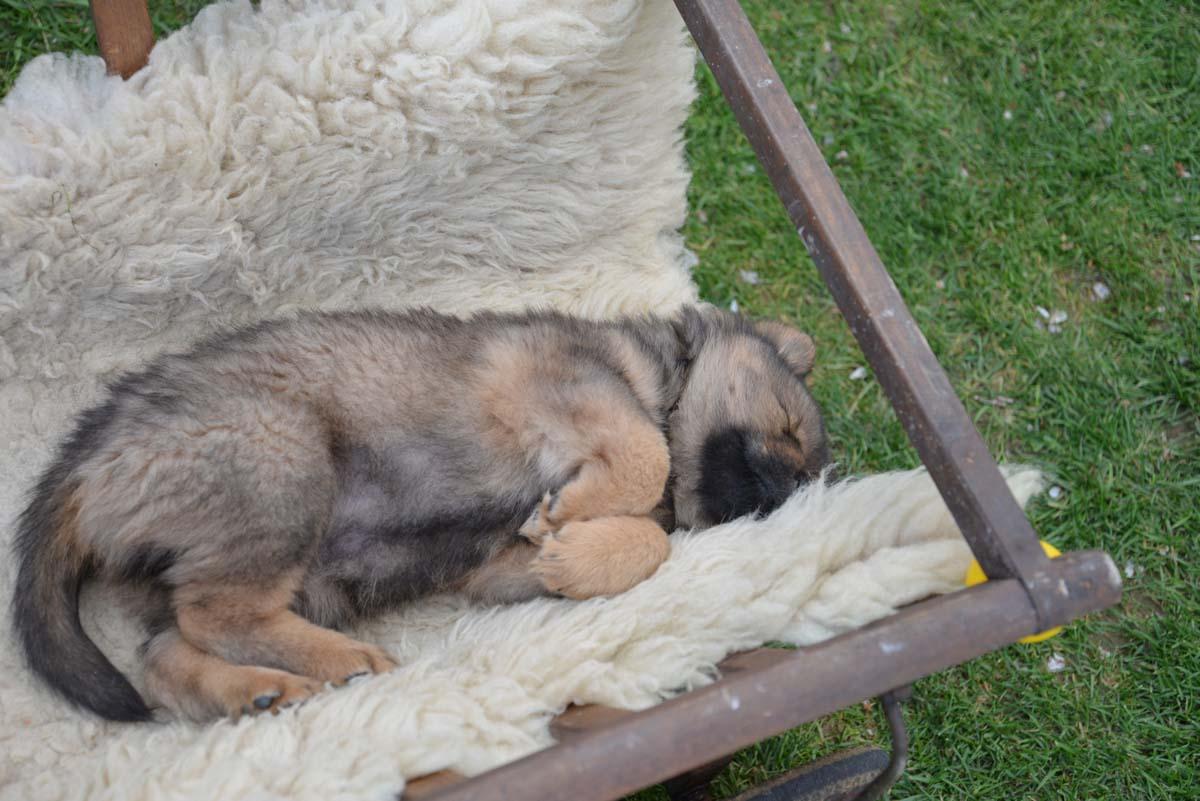 Caruso (Herr Zuglufthund Rosenbaum)