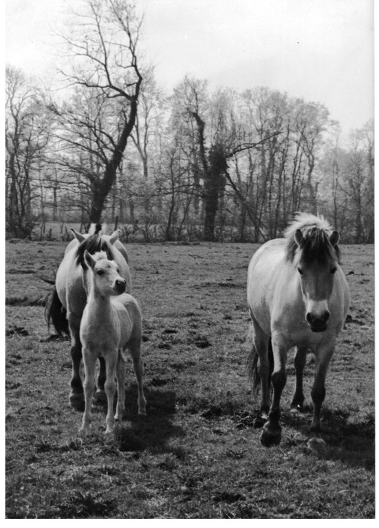 Poney Fjords en 1975