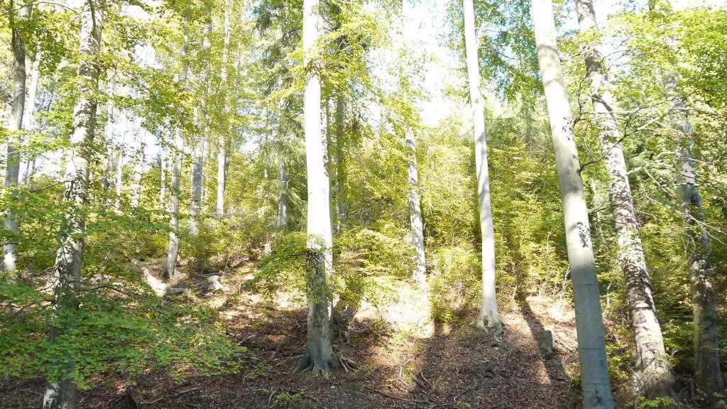 Der Harz wird durch Buchen und nicht Fichten geprägt
