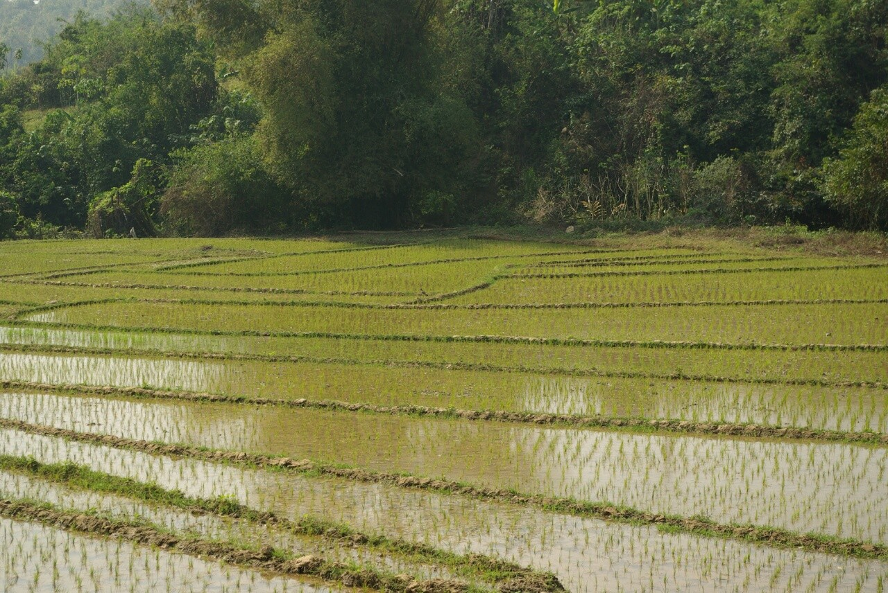 Mancherorts wächst schon der neue Reis