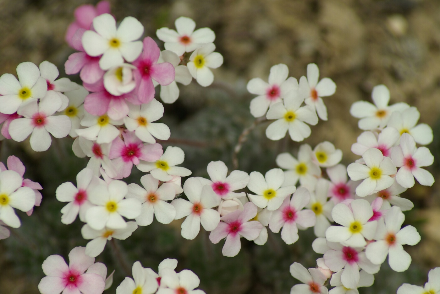 Phokar, Padmasambhava: Kleine Blumen am Wegrand