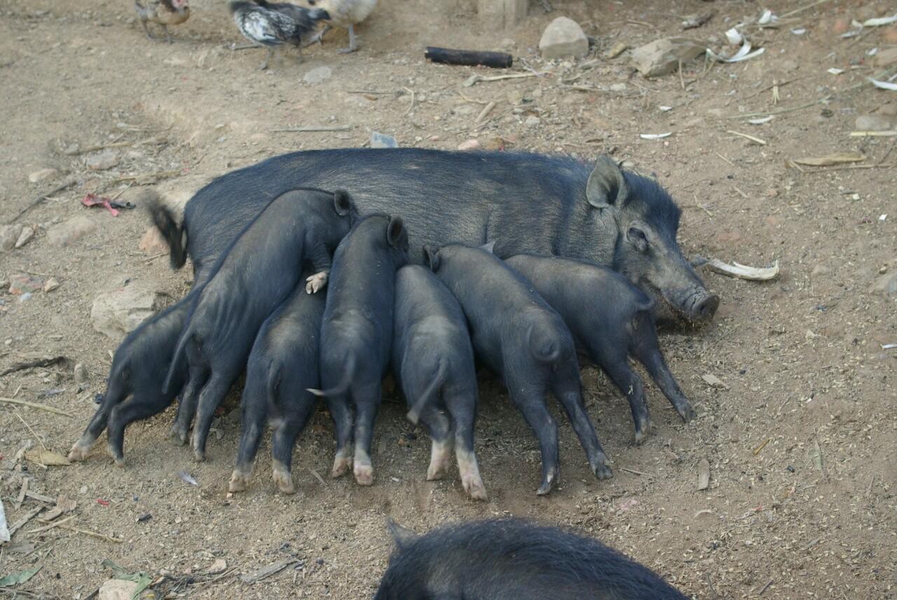 Bei Mama Schwein herrscht Gedränge.