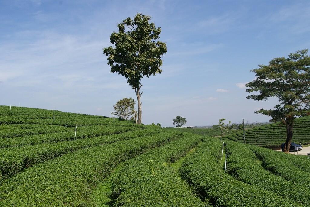 Teeplantage statt Schlafmohnfelder.
