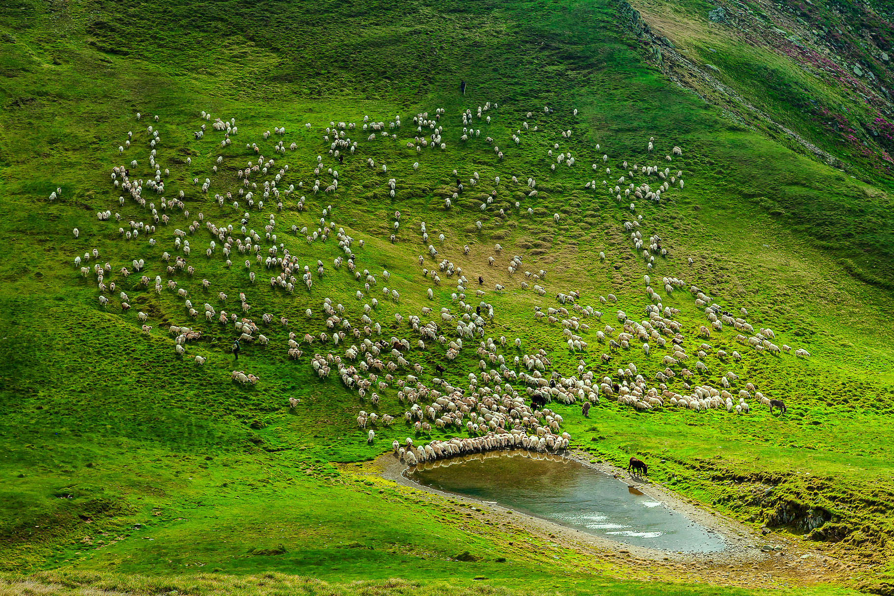 -B-Bronz CPSz medal - Fudulu Cătălin AFIAP (RO) - Sheep Parch/ Beparkírozott juhok