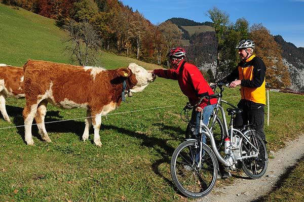 Begegnung mit Simmentaler Kühen während der E-Bike Tour