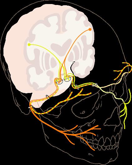 Verkazf des Nervus facialis