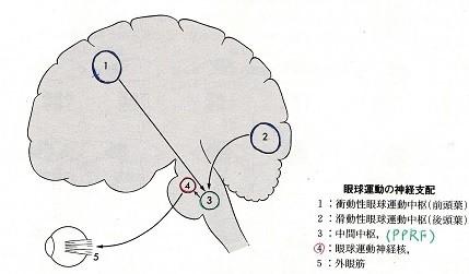 眼球運動の神経支配