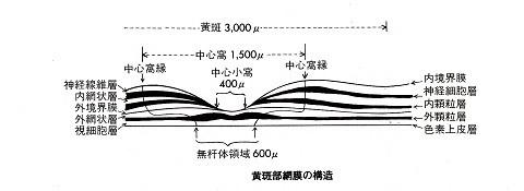 黄斑部の構造
