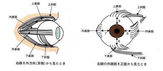 外眼筋の構造