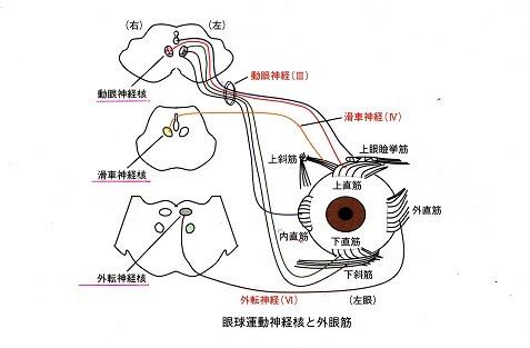 眼球運動神経核と外眼筋