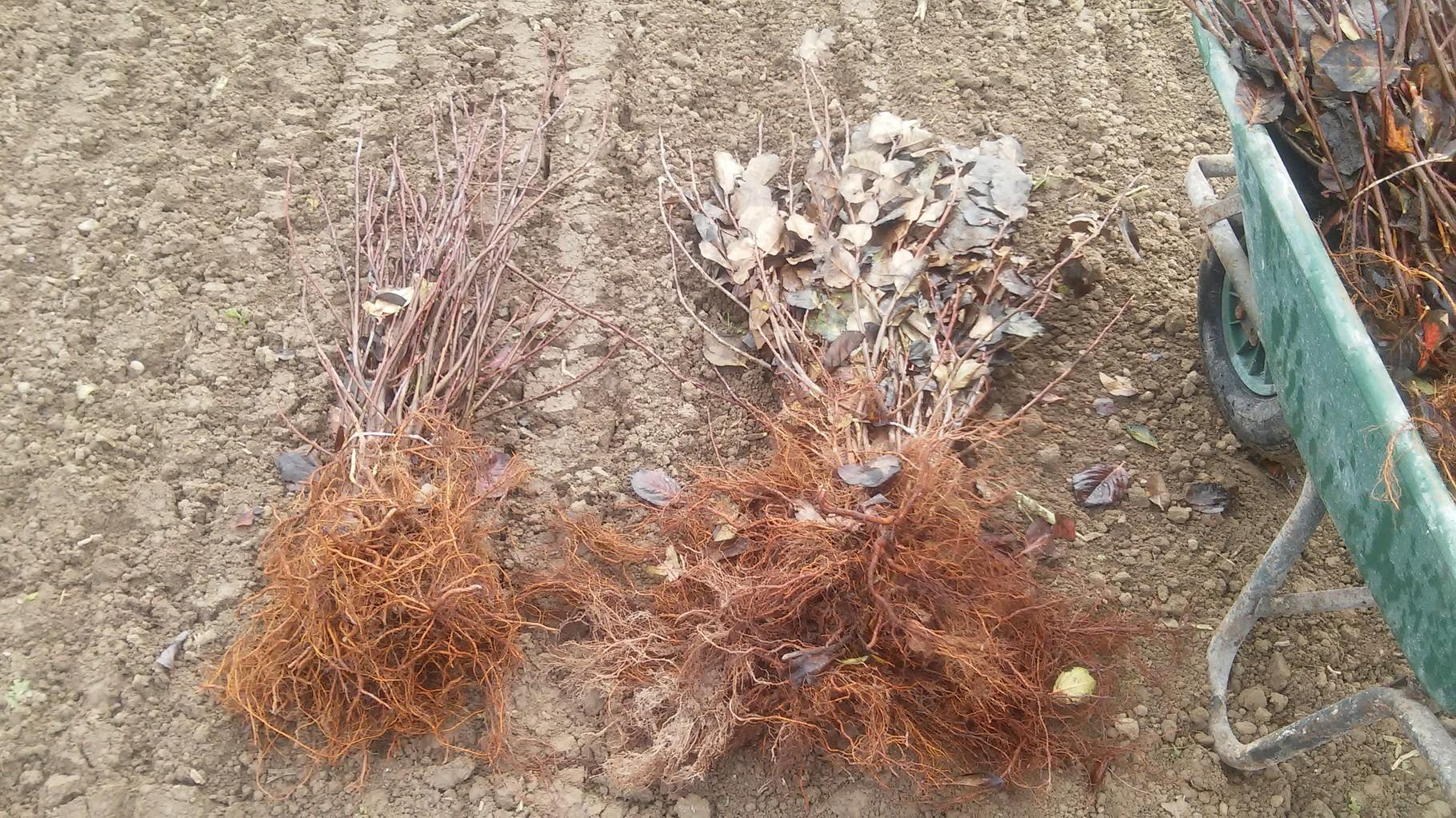 So unterschiedlich sah das Pflanzgut aus. Aber im Großen und Ganzen hatten wir sehr schöne, bereits große Pflanzen bekommen.