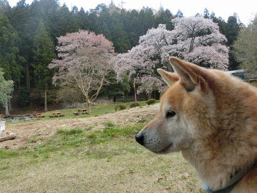 山桜が満開です。