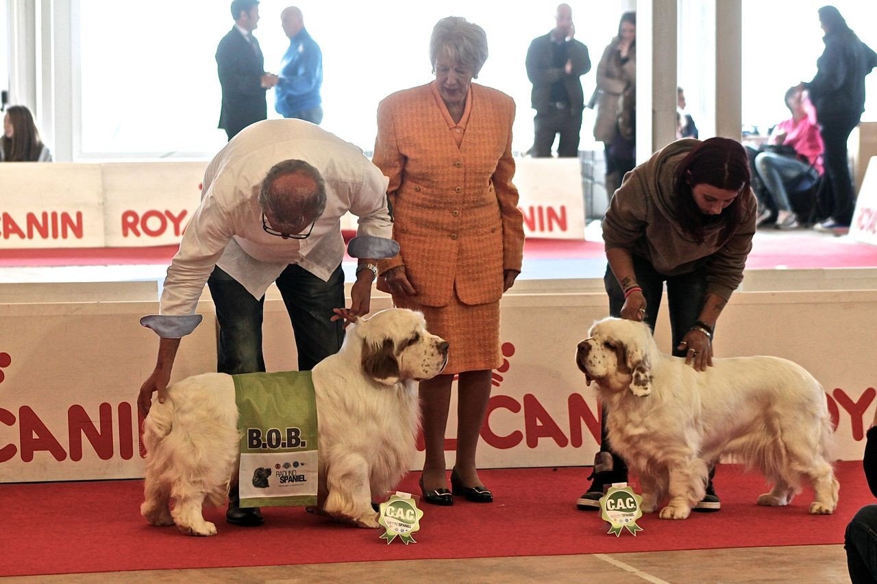 BOB e BOS Clumber Spaniel: Clussexx King of Hearts e Clussexx High and Mighty