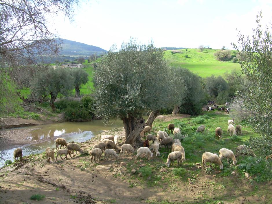 Troupeau de moutons dans la vallée de la Sybouse près de Guelma, 2011