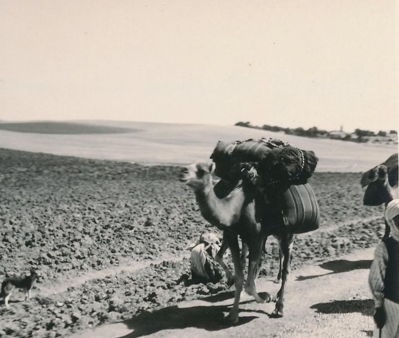 Ein Kamel bei Guelma