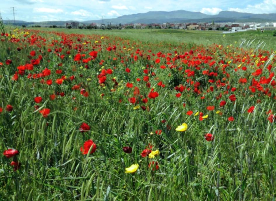 Frühling am östliche Stadtrand von Guelma,  Juni 2020