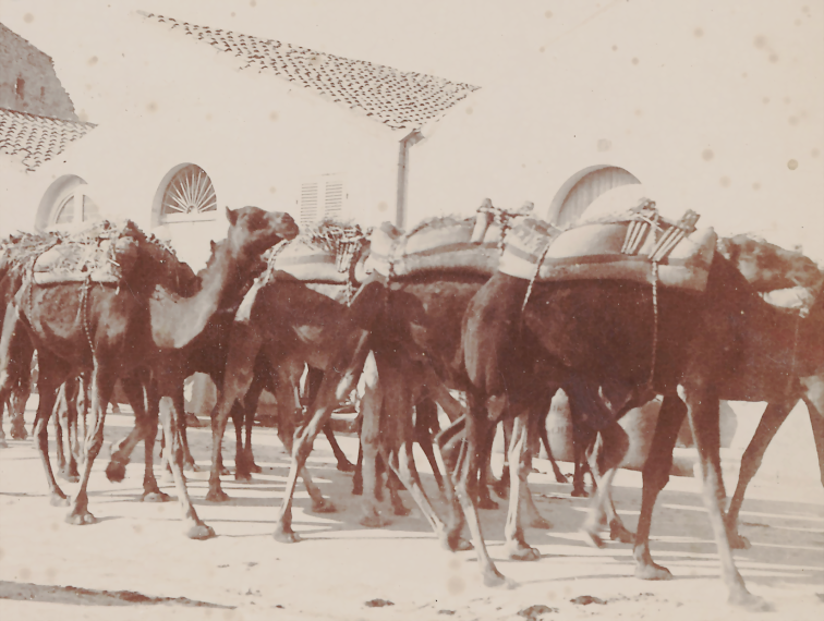 Camel caravan in Guelma, 1963