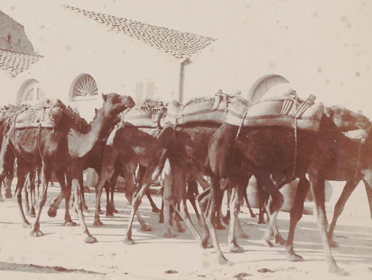Kamelkaravane in Guelma, 1963