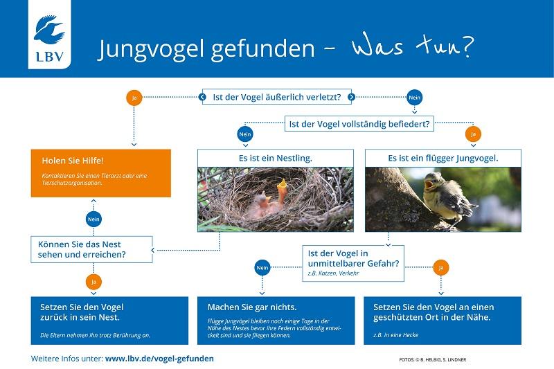 Jungvogel gefunden Grafik Anleitung Was tun Hilfe Verletzt Nestling LBV Vogel Unbefiedert