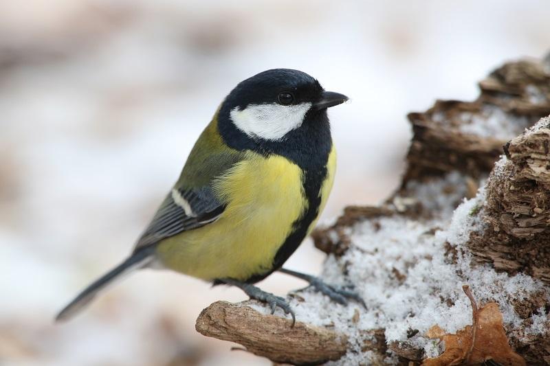 Kohlmeise Winter Stunde der Wintervögel Zählung Mitmachen Gartenvögel LBV zählen