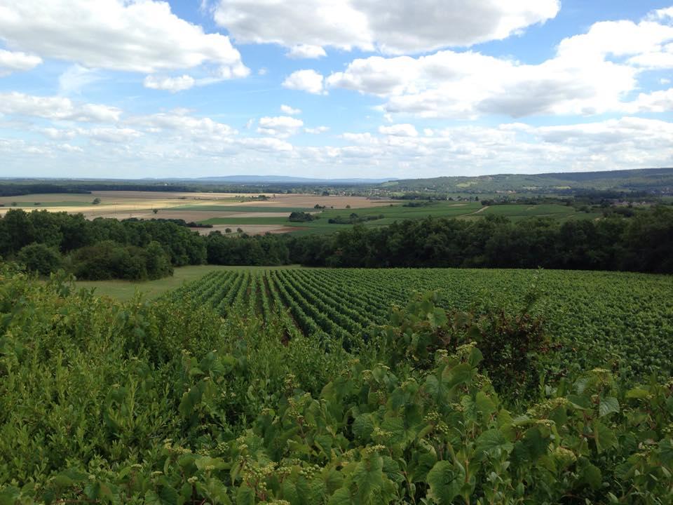 Les vignes de Saint-Hilaire au printemps
