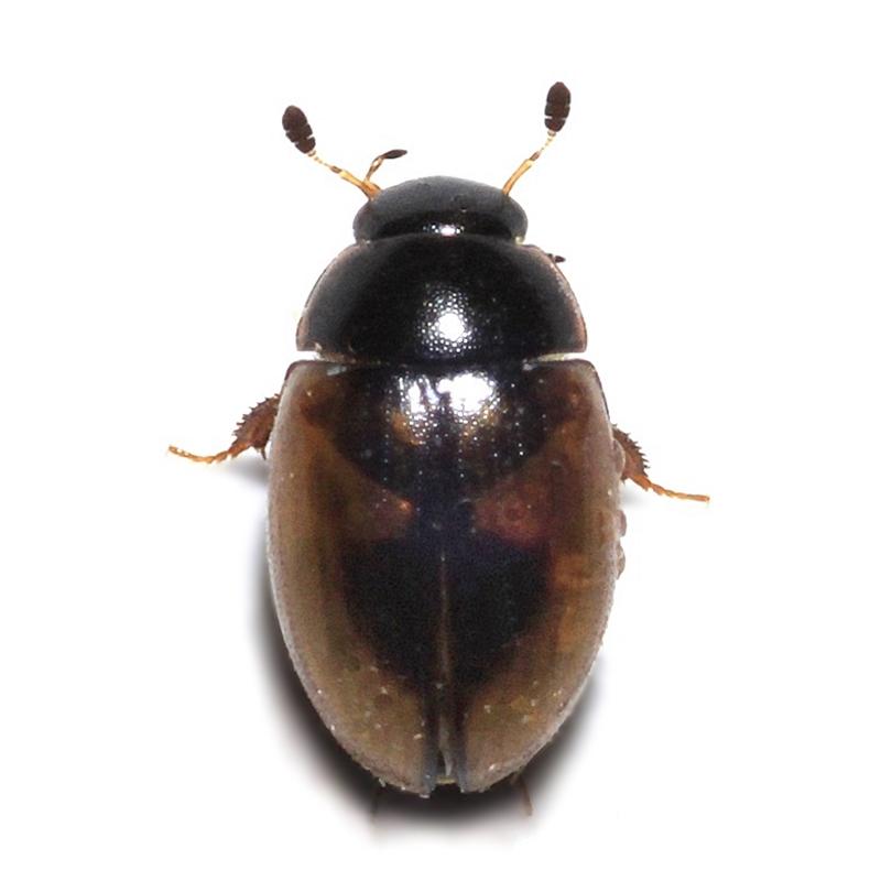 Cercyon (Cercyon) unipunctatus