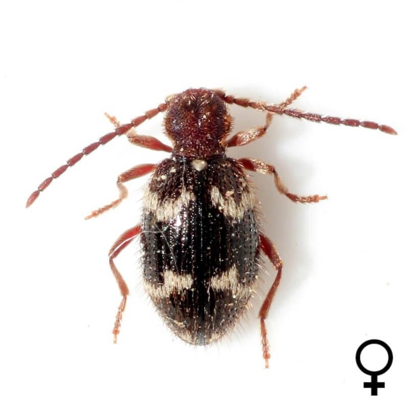 Ptinus rufipes female
