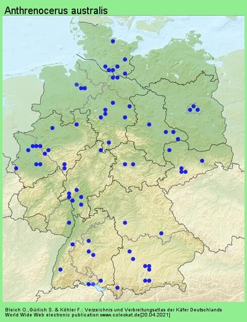Verbreitungskarte aus Deutschland von Anthrenocerus australis (Hope, 1843)
