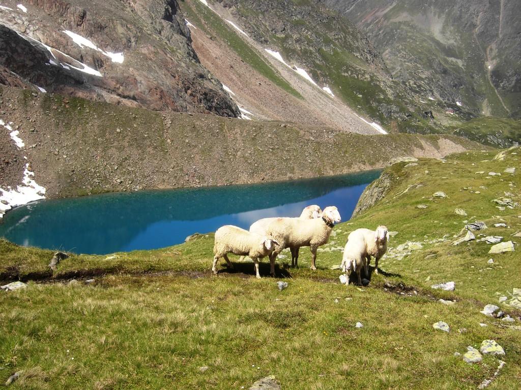 Schafe am Grünauersee
