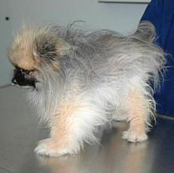 Pomeranian mit Alopezie X