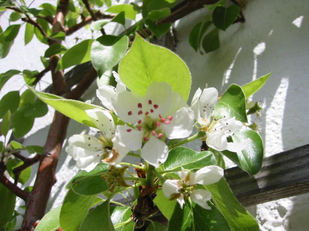 Spalier-Blüte