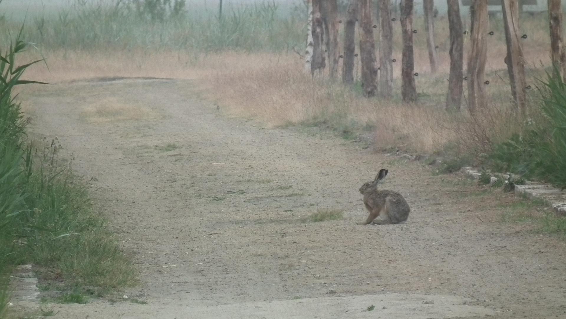 Ein Hoppelhase mitten auf dem Weg