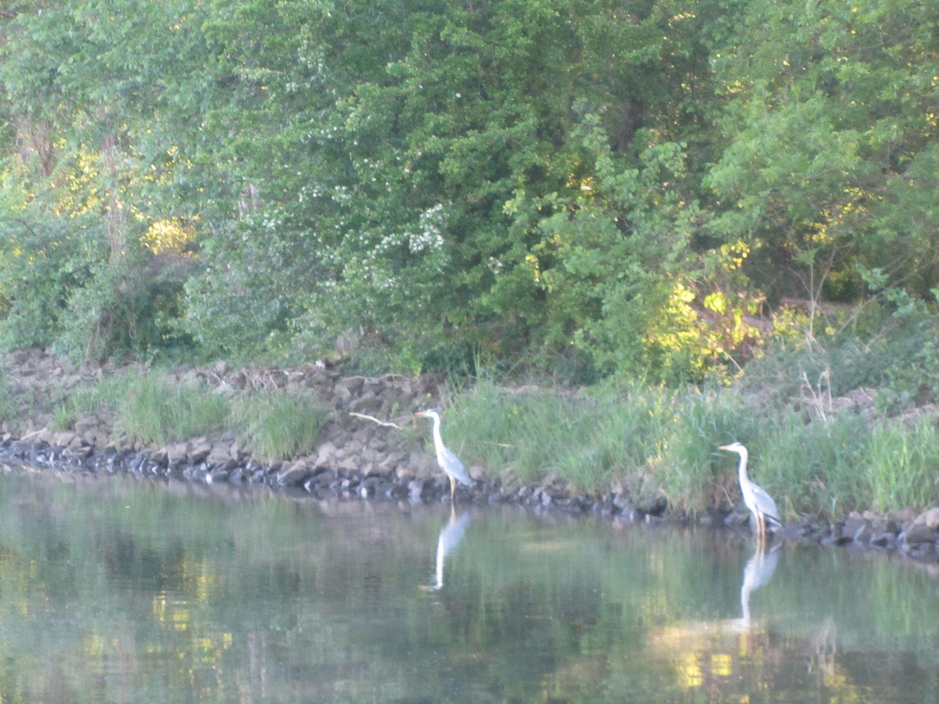 Fischreier am Ufer
