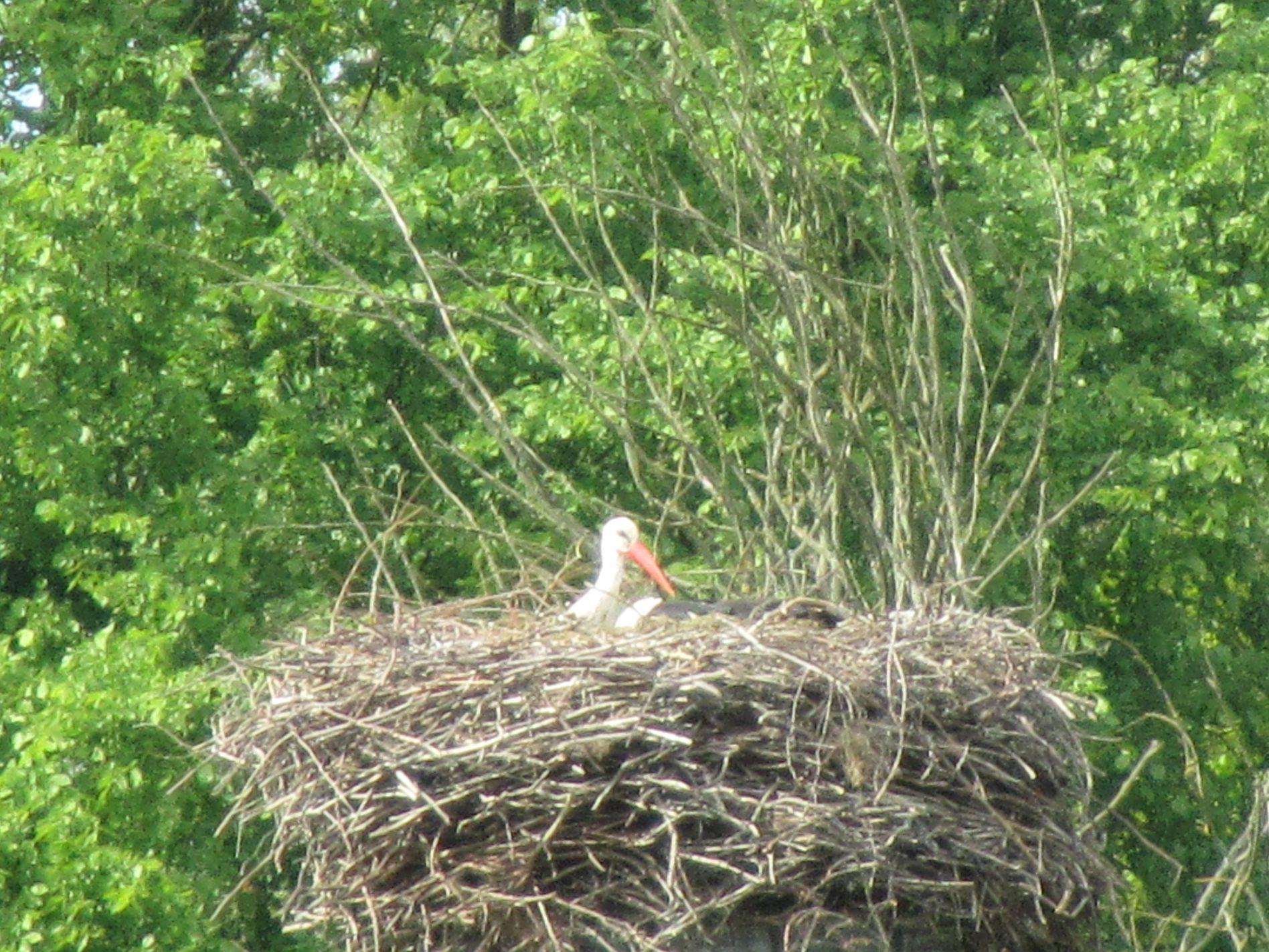 Storch in Kienitz