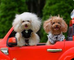 ビビアンー車内の犬2匹