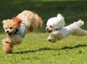ビビアンー走っている犬2匹
