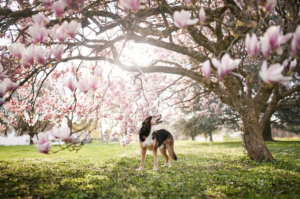 Magnolienblüte (Shootingaktion) - Hundefotograf Rheinfelden