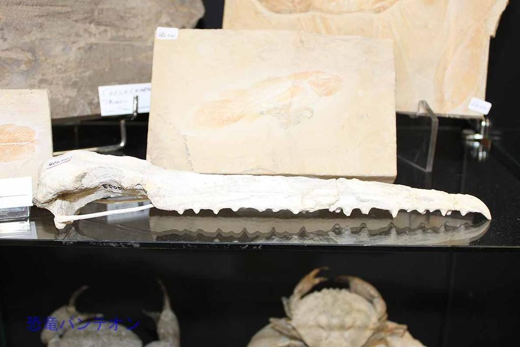 Peter Pittmann Fossilien 骨質歯鳥類 42万