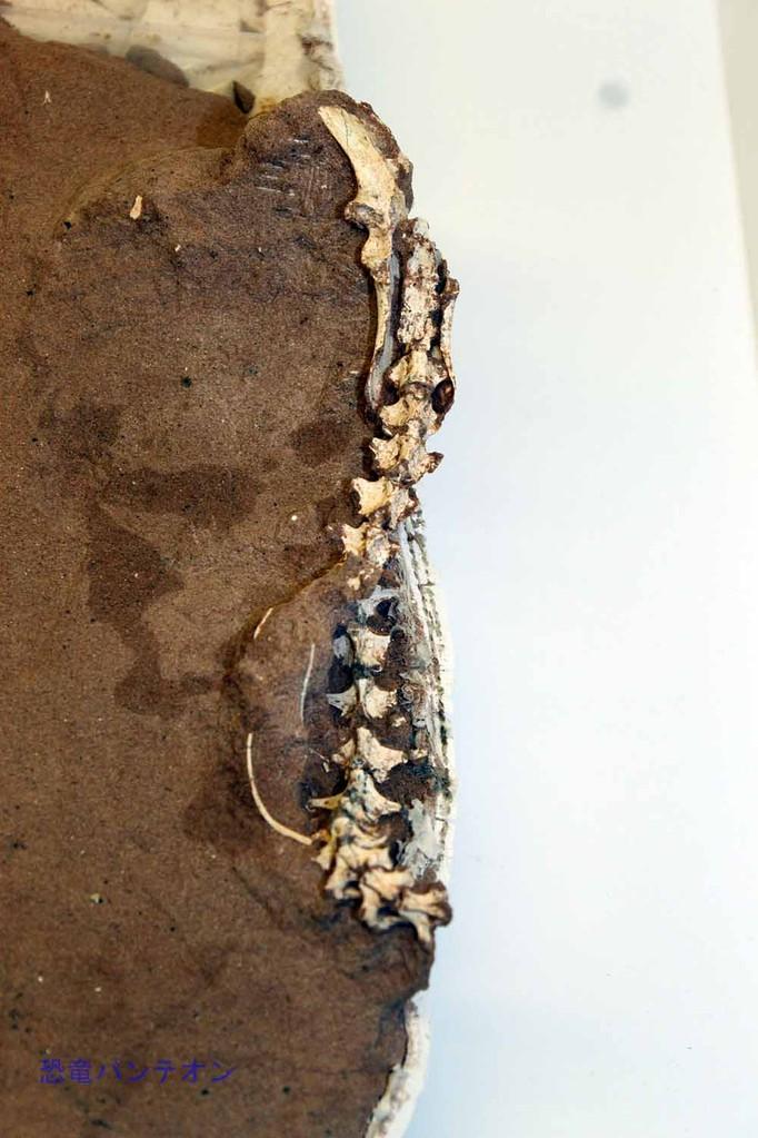 アルヴァレッツサウルス類 胴椎から腸骨(実物化石)
