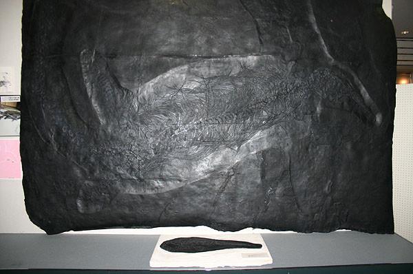 イタリア ベザーノ産魚竜化石 ベザノサウルス