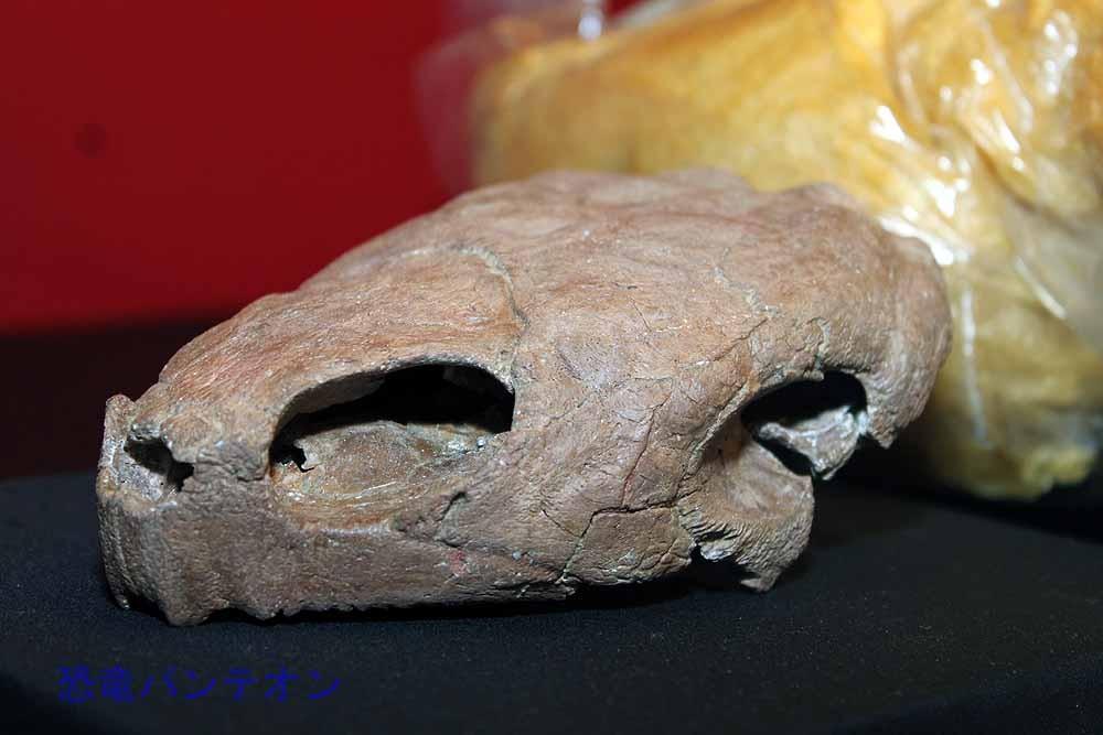 モンゴロケリス(カメ類 実物化石)