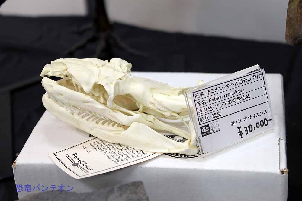 アミメニシキヘビ頭骨レプリカ3万円