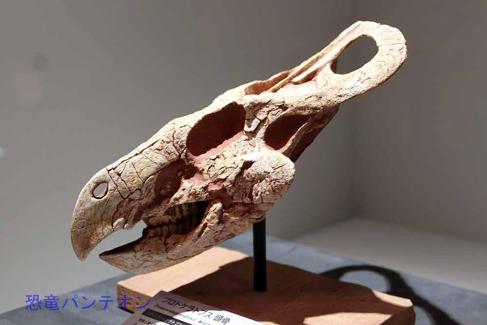 プロトケラトプスの成長段階、これは一番小さい幼体の頭骨。