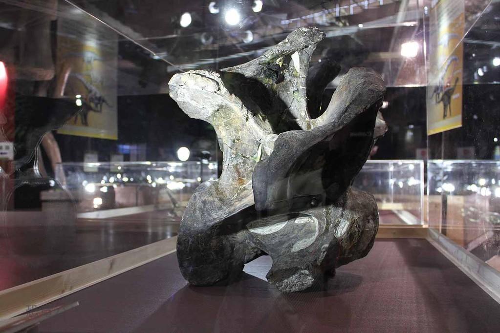 カマラサウルス胴椎