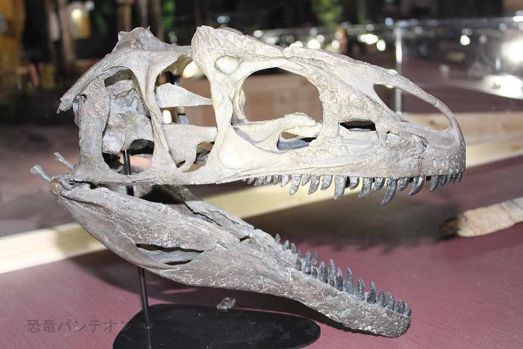 アロサウルス亜成体頭骨