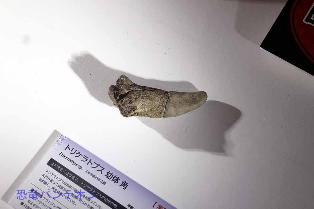 トリケラトプス幼体 角