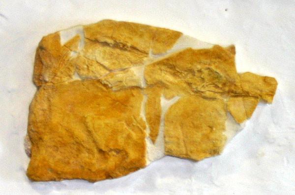 タイ王国産 タイザウルスのレプリカ 三畳紀前期